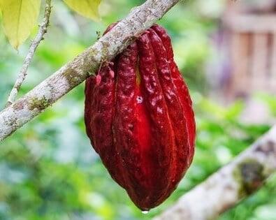 アボカドの種とアボカドの実を使ったショコラスムージー