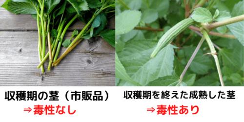 家庭菜園で作ったモロヘイヤでスムージーを作る時には注意が必要
