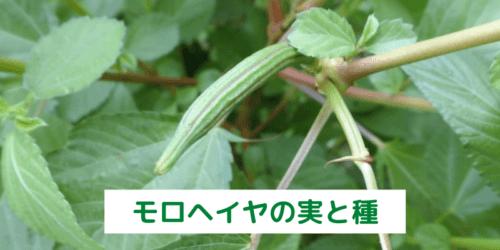 家庭菜園されたモロヘイヤの茎には、毒が含まれている可能性がある